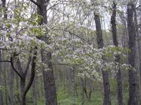 Sakura0511